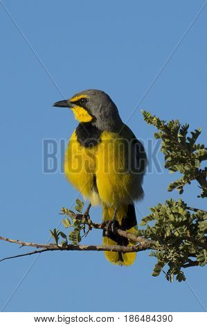 Colorful yellow and black Bokmakierie or bushshrike bird in South Africa