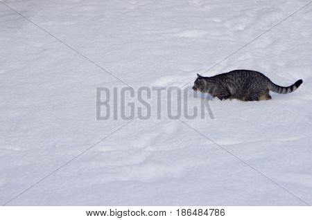 Gray tabby cat hunting in white snow