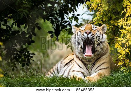 Young adult Siberian tiger, otherwise known as the Amur Tigers, yawning in the shade of the undergrowth. This big cat is indigenous to far eastern Russia.