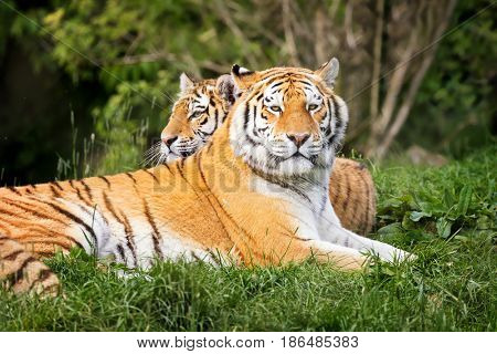 Two young adult Siberian tigers, otherwise known as the Amur Tigers. These big cats are indigenous to far eastern Russia.