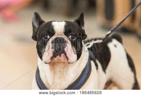 Black and white french bulldog looking at camera. Bulldog head portrait