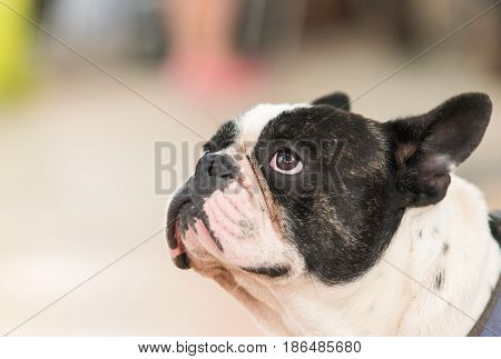 Black french bulldog looking up.Bulldog head portrait