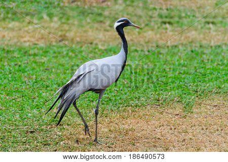 Emoiselle Crane (grus Virgo)