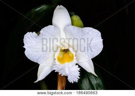 Dendrobium Infundibulum Lindl.