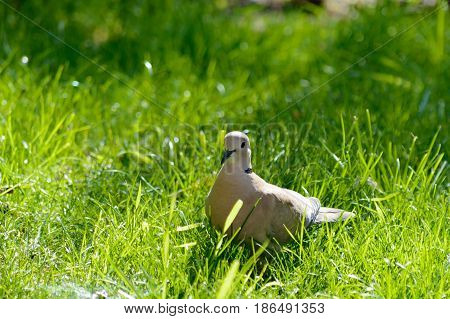 Wild forrest pigeon standing in the sun on fresh green grass looking at the camera