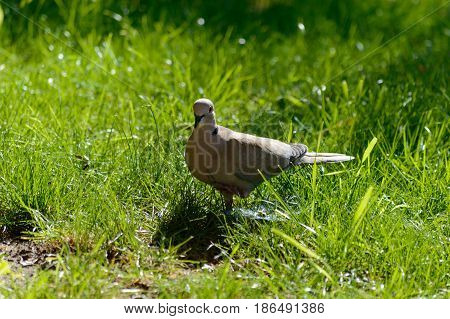 Wild forrest pigeon standing on one leg looking at the camera in fresh green grass on a sunny day
