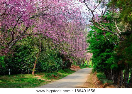 The tree tunnel Prunus cerasoides or Wild Himalayan Cherry winter at Khun wang Chaing maiThailand.