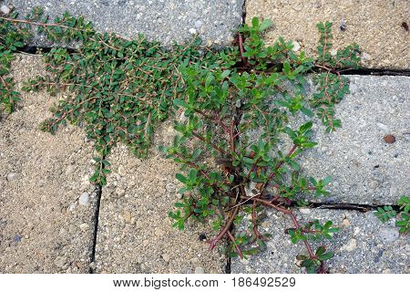 Portulaca oleracea (common purslane, also known as verdolaga, pigweed, little hogweed, red root, and pursley) and Euphorbia maculata (variously called spotted spurge or prostrate spurge), grow through the spaces between brick pavers in Joliet, Illinois.