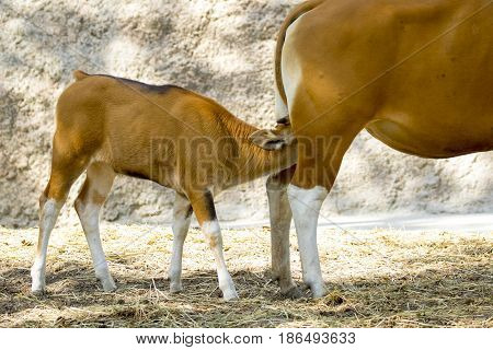Image of a red bull female and red calf on nature background. wild animals.
