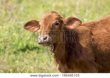 Image of brown cow on nature background. Farm Animal.