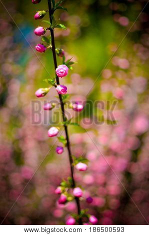 Branch With Beautiful Pink Flowers Of Amygdalus Triloba Bush