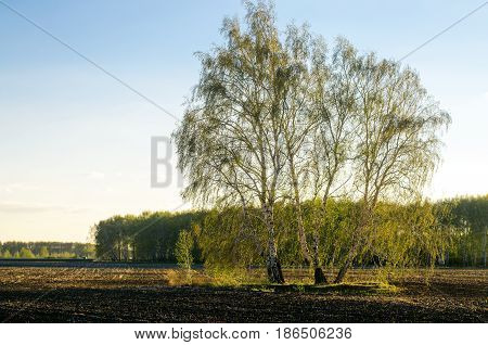 Birch tree stand alone in the plowed field in the rays of sun.