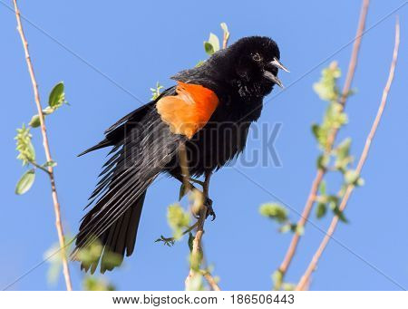 Red-winged Blackbird perched in a tree protecting his territory.