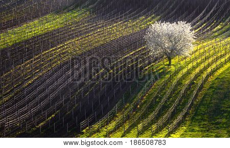 Line and Wine. A beautiful spring landscape with a flowering tree and vineyard lines.Moravian rolling landscape with white blossoming apple-tree in the background of lines of vineyards. Strings of spring.