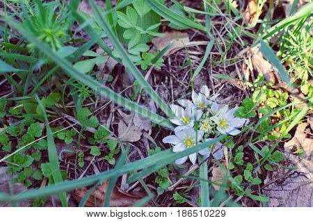 Close-up of white flowers of Star of Bethlehem Ornithogalum plant with green lance-shaped leaves