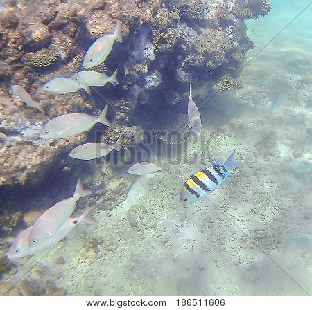 Abudefduf Vaigiensis And Sparidae Swim Around A Bright Colored Coral Reef In The Red Sea In Hurghada
