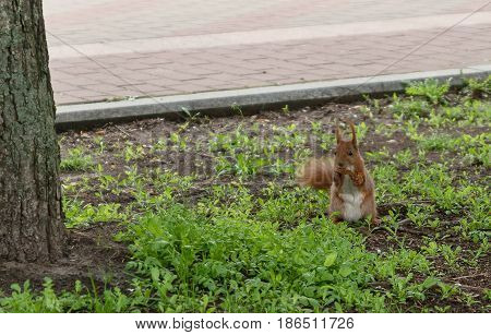 Red-haired Furry Squirrel Jumping In Green Bright Grass And Looking For Food
