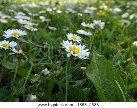 Beautiful daisies , Floral background daisy , (Bellis perennis)