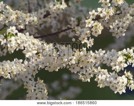 Branches of the beautifully flowering fruit tree