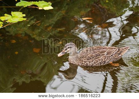 Adult female Mallard duck with pale orange bill swimming in the pond during Autumn, Tasmania, Australia (Anas platyrhynchos)