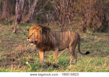 The king of beasts is always on the alert. Kenya, Africa