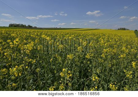 A yellow field of canola with a line of trees in the horizon and blue sky on a sunny day