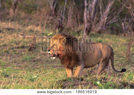 A huge lion in the savannah. Masai Mara. Africa