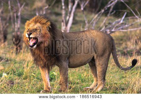 The owner of the savannah. Kenya, Africa