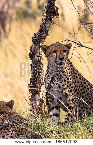 Two cheetahs near the tree. Kenya, Africa
