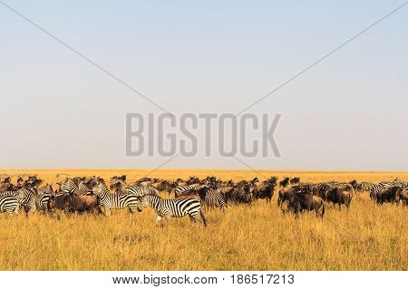 Savannah herbivores. Great migration. Kenya, Masai Mara.