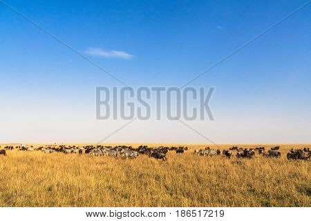 Great migration. In time. Kenya, Masai Mara.