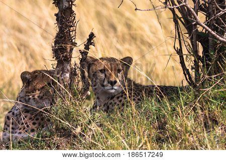 Scared cheetahs Serengeti. Masai Mara, Kenya, Eastest Africa