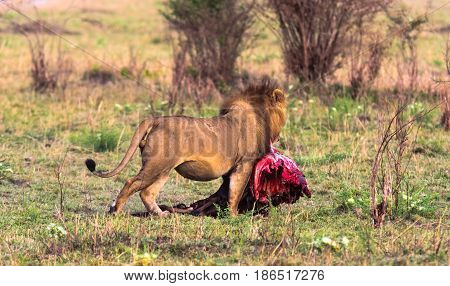 The lion bears prey in the bush. Kenya, Africa