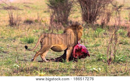 The lion bears prey in the bush. Kenya, Africa