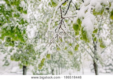 Late spring snow with frosts and calamities