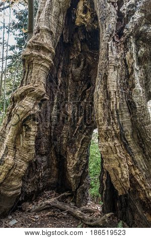 A closeup shot of a hollow burned tree trunk at Seward Park in Seattle.