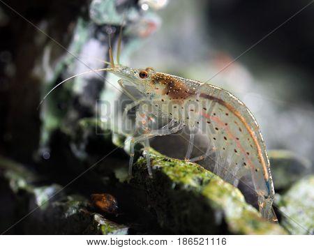 Portrait of a beautiful transparent freshwater shrimp