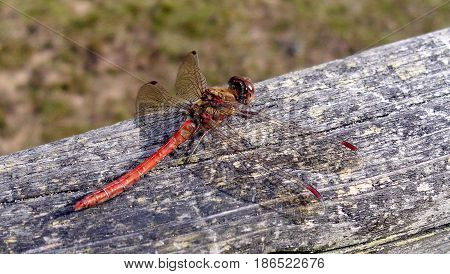 A Red-Veined Darter British Dragonfly on Wood