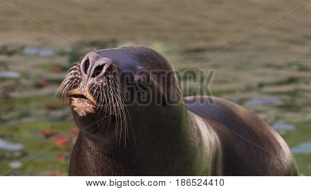 Seals float in water with a nose of water. Deail on the head of the seals.