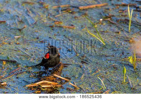 Red-winged black bird (Agelaius phoeniceus) male, perched on a floating stick in a marsh