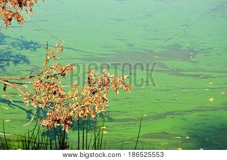 Detail of cyanobacteria cyanophyta plantktonic pollution on lake poster