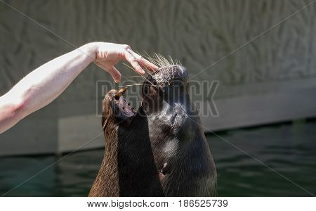 South American Sea Lion opens his mouth to instruct the trainer. In the open mouth the instructor has a hand. Detail on the head of the seals.