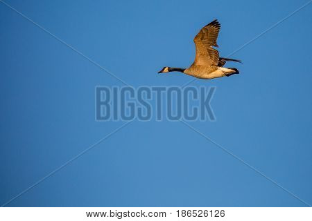 Canada Goose (branta canadensis) flying in a blue sky