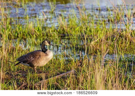 Canada Goose (branta canadensis) standing and guarding her nesting area on Lake Wausau