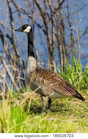 Canada Goose (branta canadensis) standing along the lakeshore in Wisconsin during the springtime