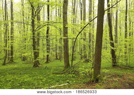 Spring deciduous forest . May, Poland .