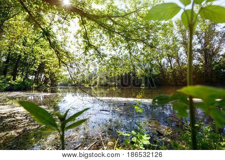 Forest lake pond is overgrown with lush green grass and trees in sunlight
