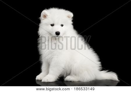 Cute White Samoyed Puppy Sitting isolated on Black background, side view