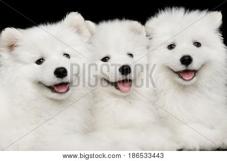 Close-up Three White Samoyed Puppies friendly Lying together isolated on Black background, front view