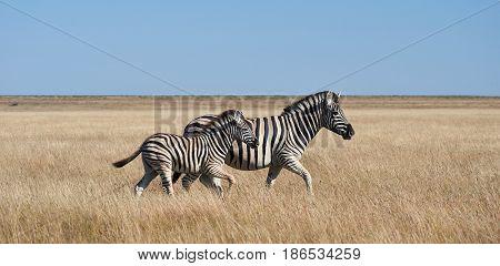 Two zebras walking in African savannah Namibia